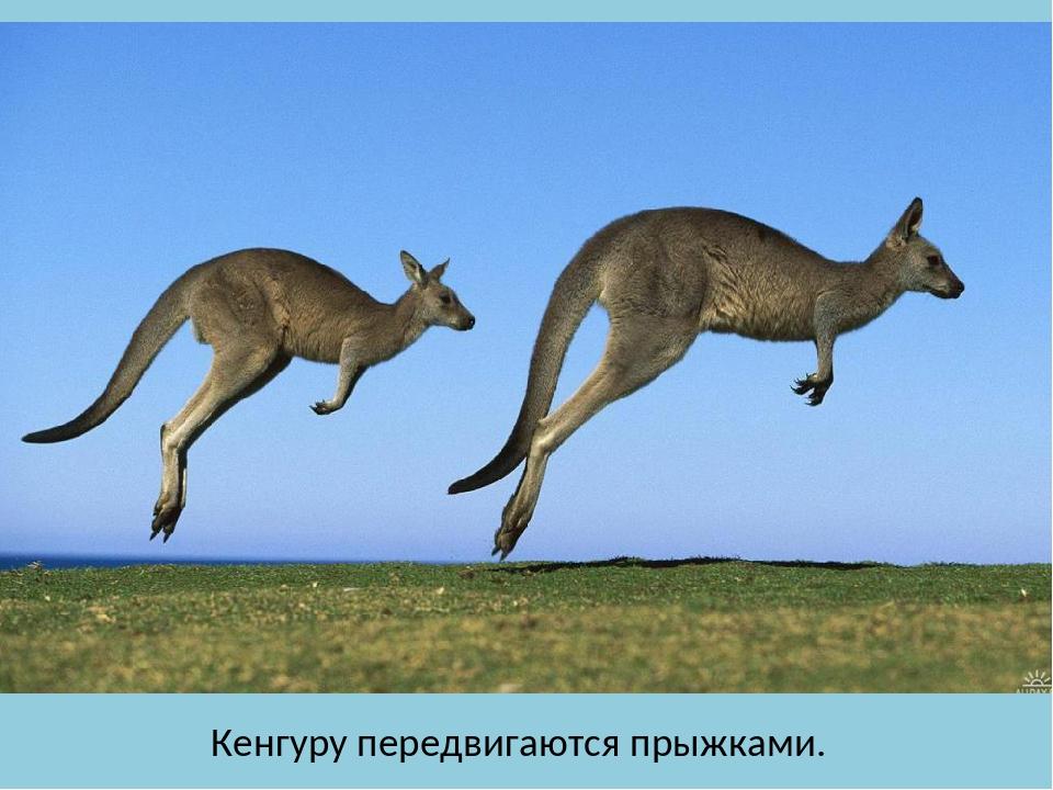 Кенгуру передвигаются прыжками.