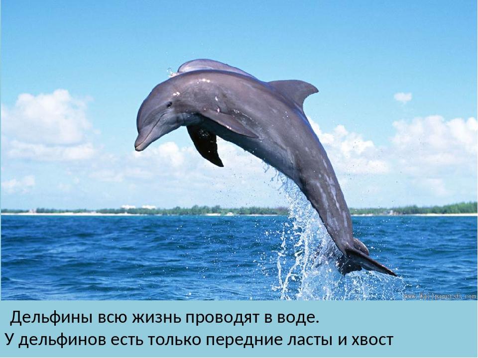 Дельфины всю жизнь проводят в воде. У дельфинов есть только передние ласты и...