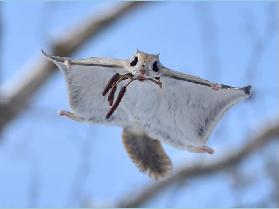 По воздуху белки-летяги перемещаются благодаря тонкой пушистой коже, которая...