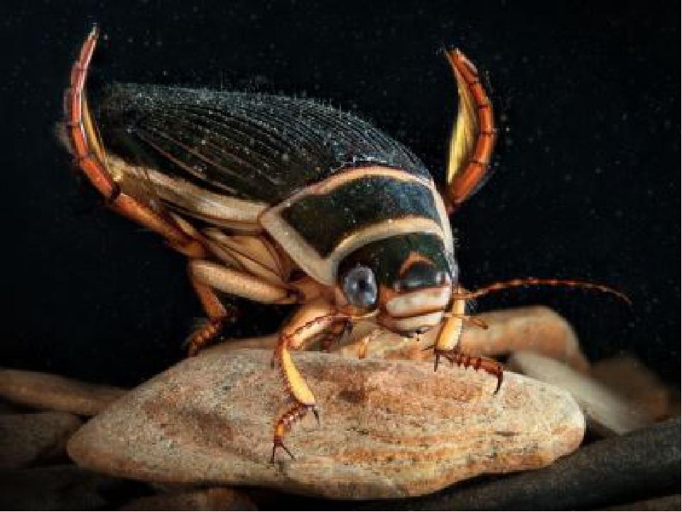У насекомых, обитающих в воде, задние ноги расширены и покрыты длинными щетин...