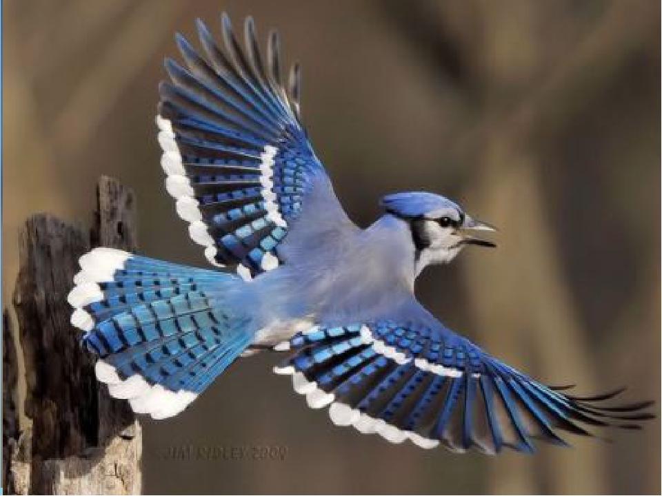 Птицы Основной способ передвижения птиц – полёт. Все тело птиц приспособлено...