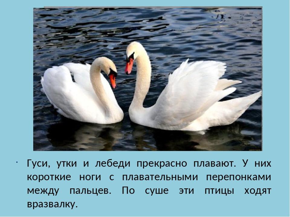 Гуси, утки и лебеди прекрасно плавают. У них короткие ноги с плавательными п...
