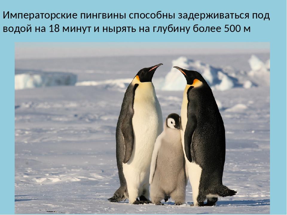 Императорские пингвины способны задерживаться под водой на 18 минут и нырять...