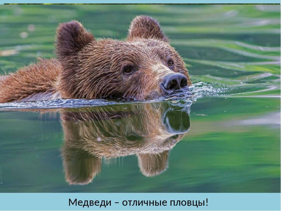 Медведи – отличные пловцы!