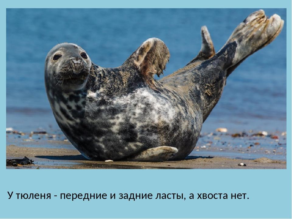 У тюленя - передние и задние ласты, а хвоста нет.