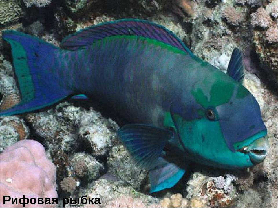 Рифовая рыбка
