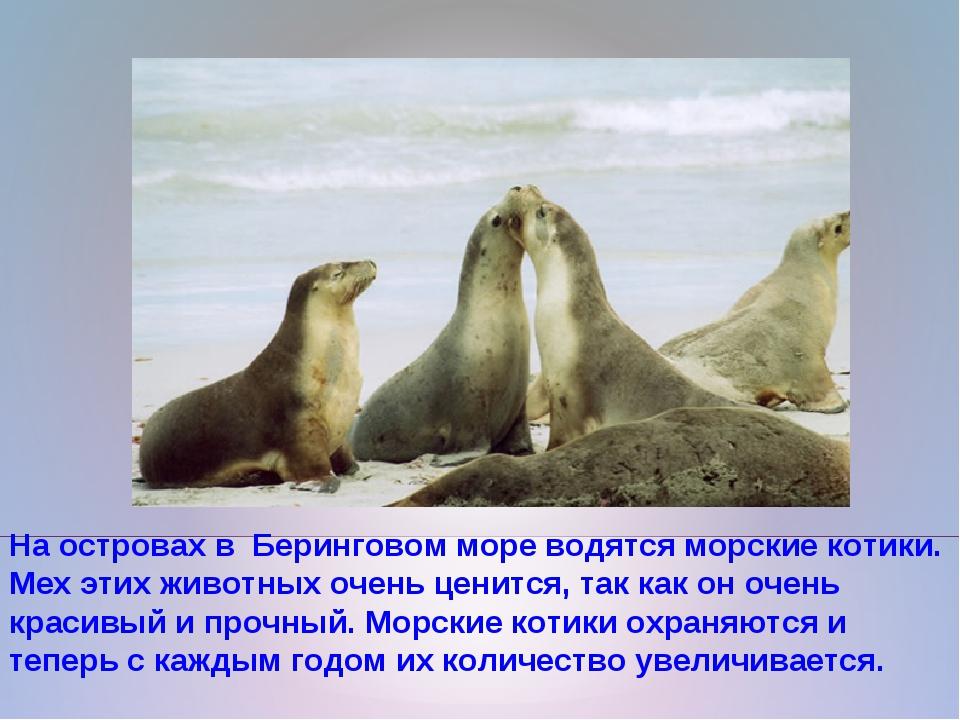 На островах в Беринговом море водятся морские котики. Мех этих животных очень...