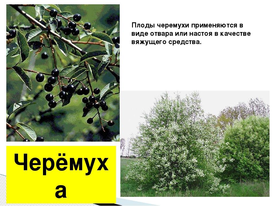 Черёмуха Плоды черемухи применяются в виде отвара или настоя в качестве вяжущ...