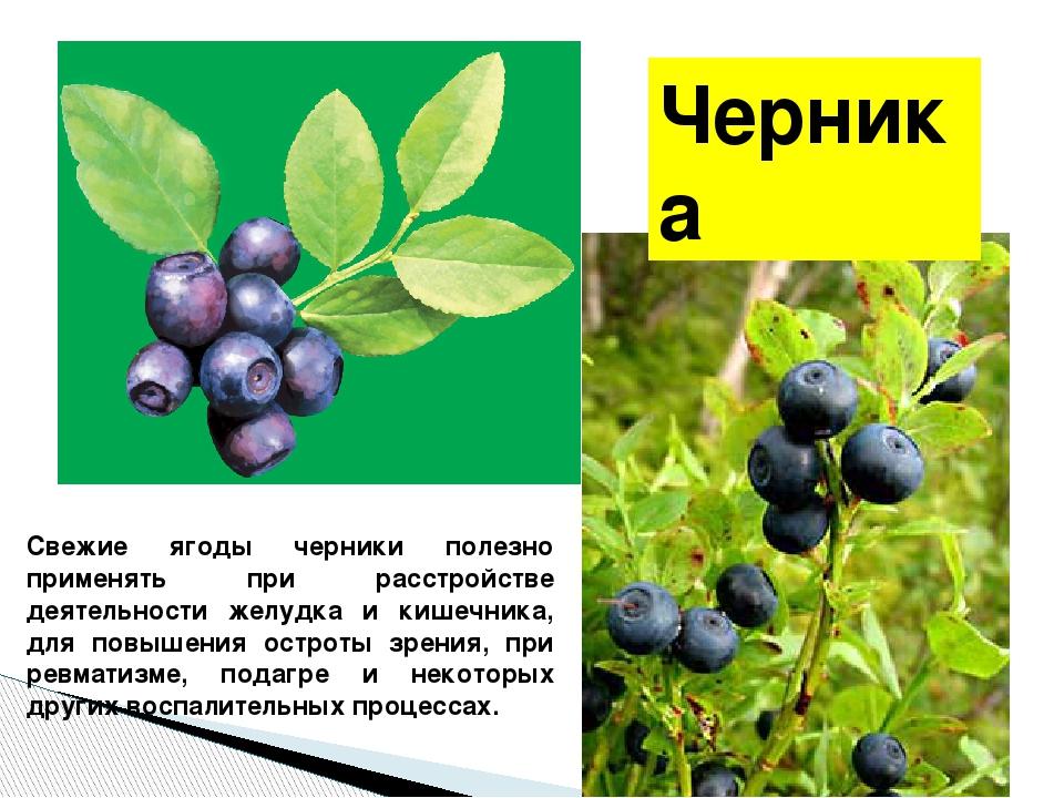 Черника Свежие ягоды черники полезно применять при расстройстве деятельности...