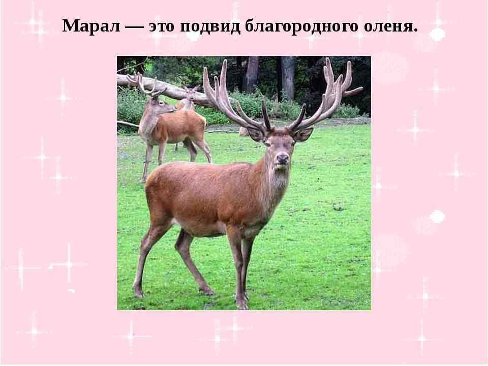 Марал — это подвид благородного оленя.