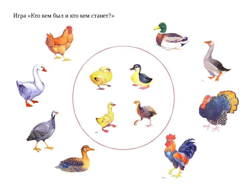 картинки для игры домашние птицы
