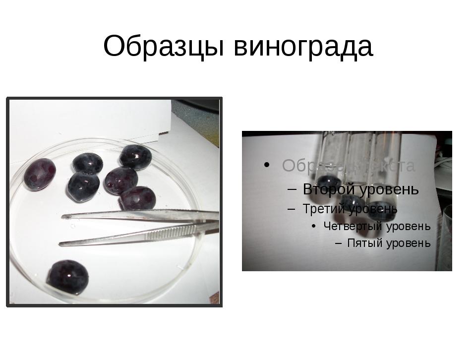 Образцы винограда
