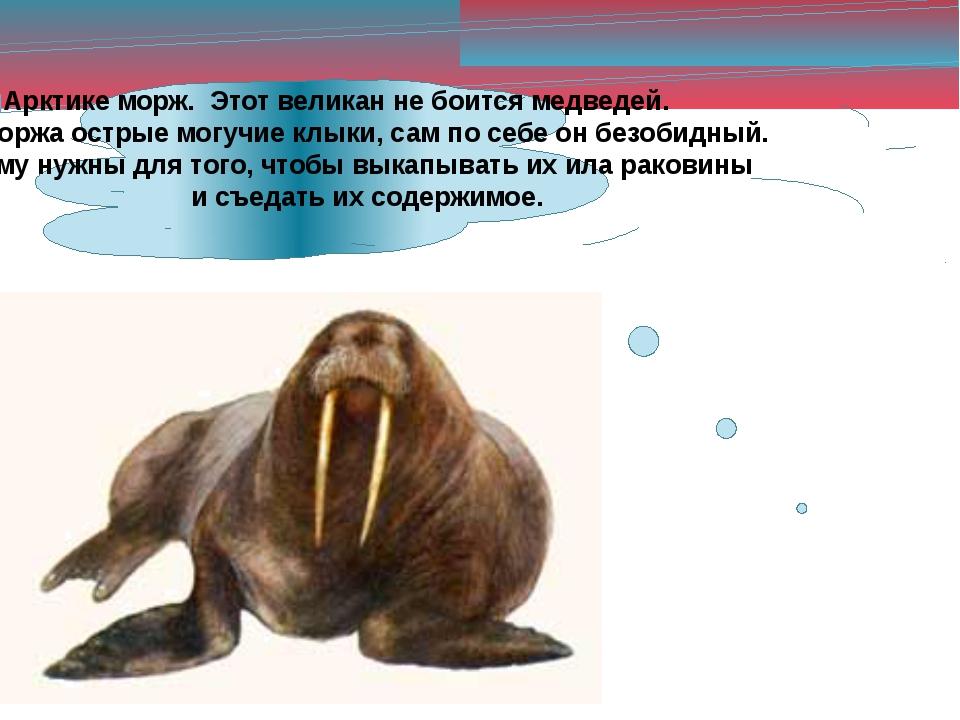 Живёт в Арктике морж. Этот великан не боится медведей. Хотя у моржа острые мо...
