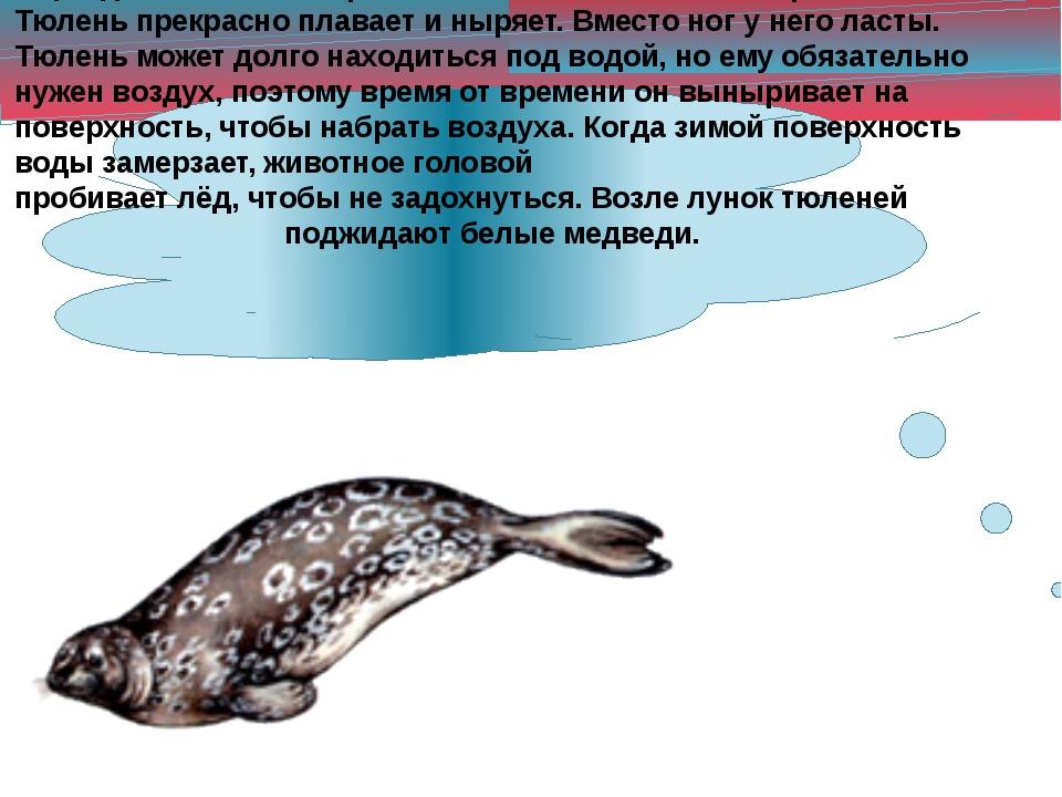 Ещё один обитатель Арктики – тюлень. Он питается рыбой. Тюлень прекрасно плав...