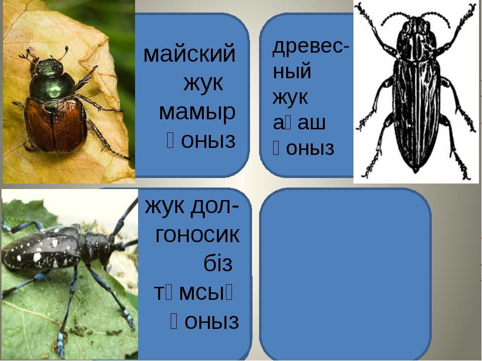 майский жук мамыр қоныз древес- ный жук ағаш қоныз В 1915 году этот жук уничт...