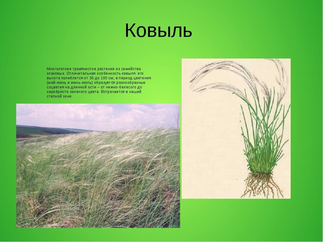 Ковыль Многолетнее травянистое растение из семейства злаковых. Отличительная...