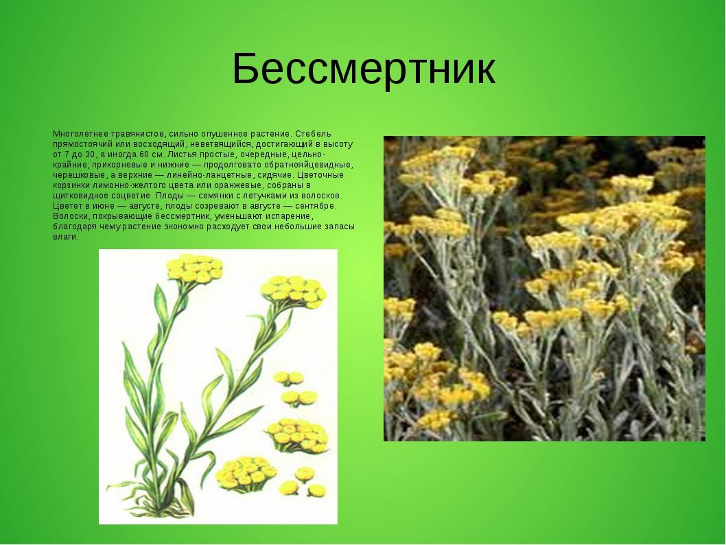 Бессмертник Многолетнее травянистое, сильно опушенное растение. Стебель прямо...