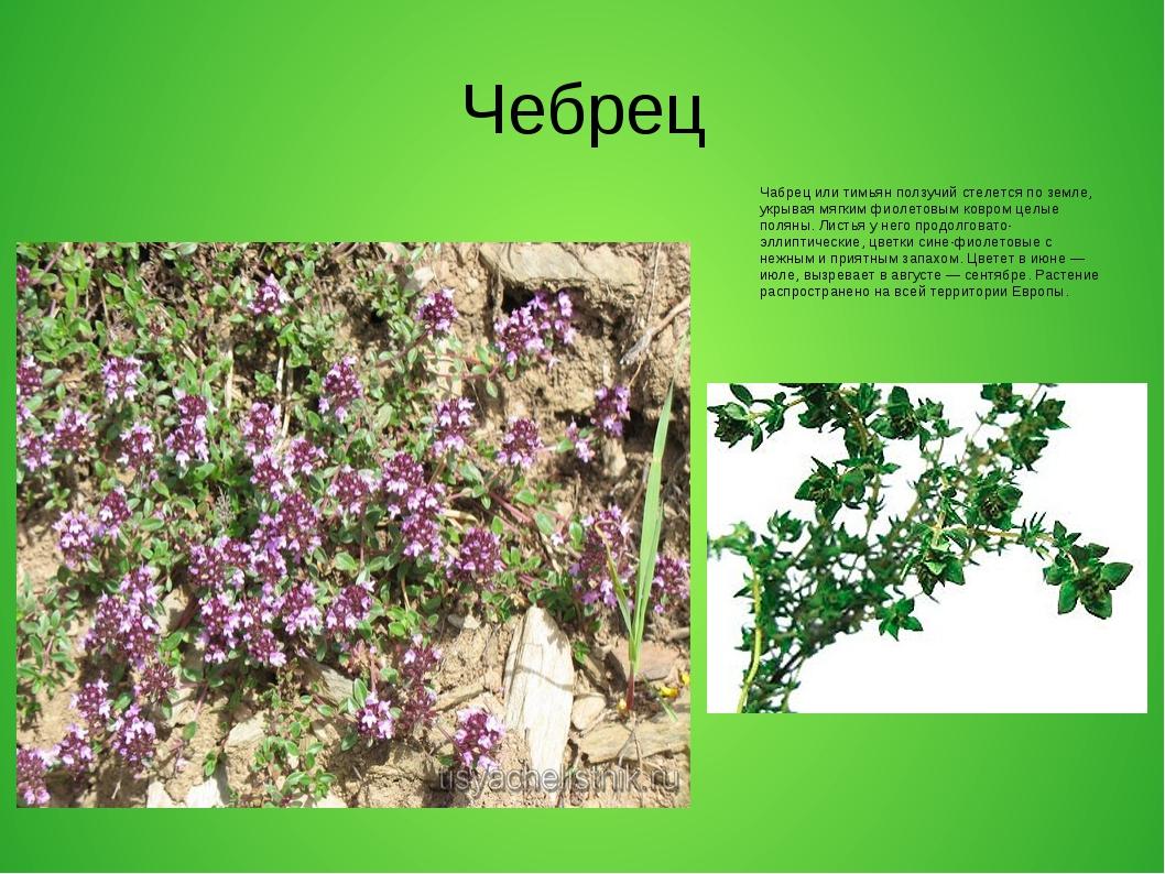 Чебрец Чабрец или тимьян ползучий стелется по земле, укрывая мягким фиолетовы...
