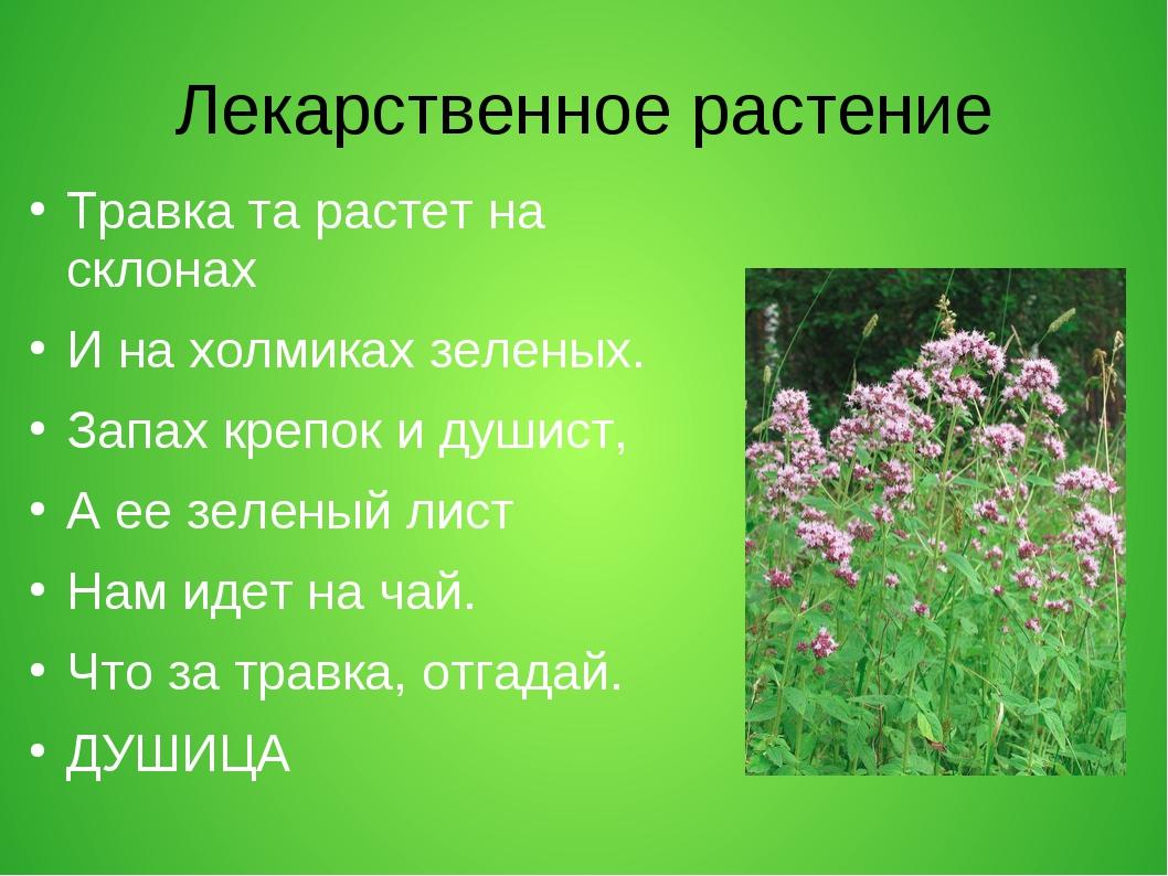 Лекарственное растение Травка та растет на склонах И на холмиках зеленых. Зап...