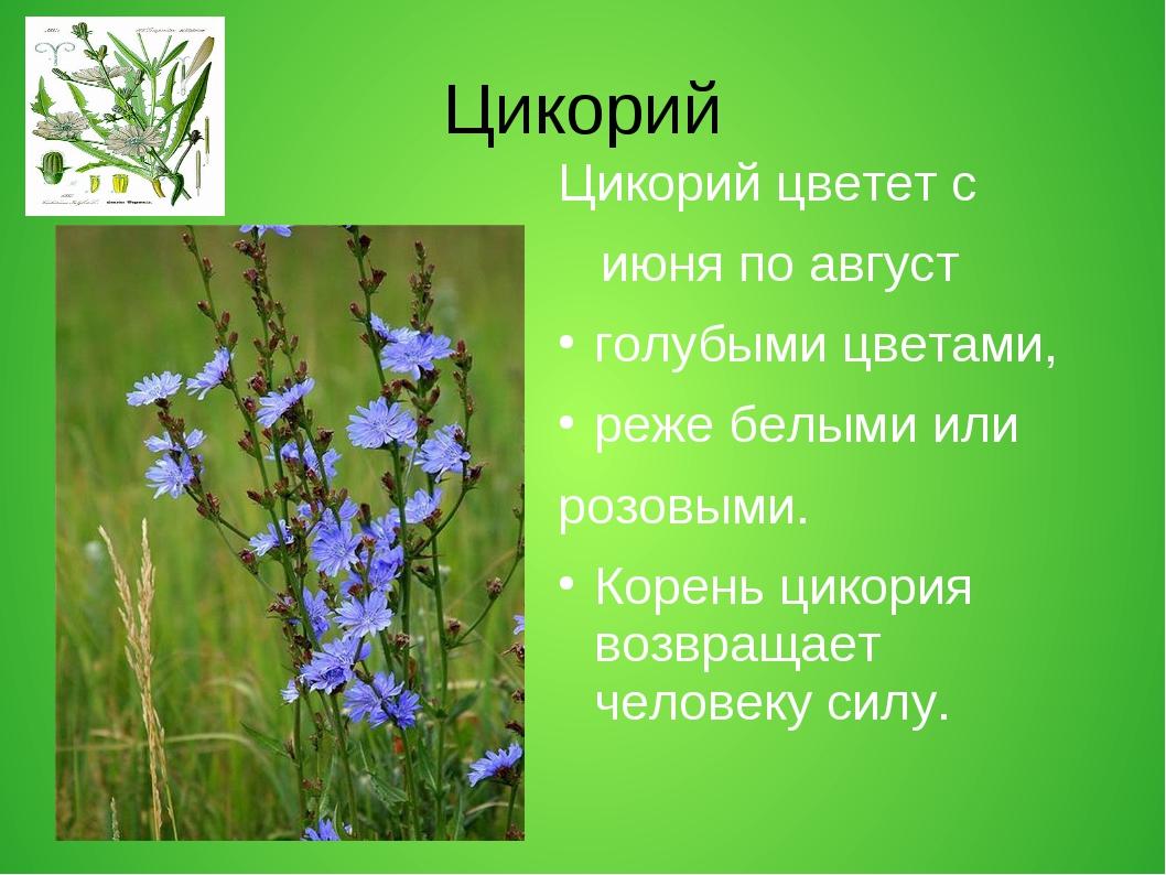 Цикорий Цикорий цветет с июня по август голубыми цветами, реже белыми или роз...
