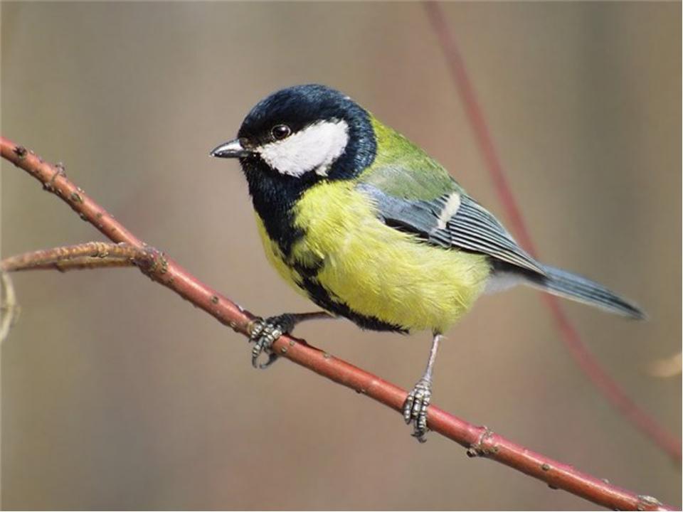 Спинкою зеленовата, Животиком желтовата, Черненькая шапочка Иполоска шарфика.