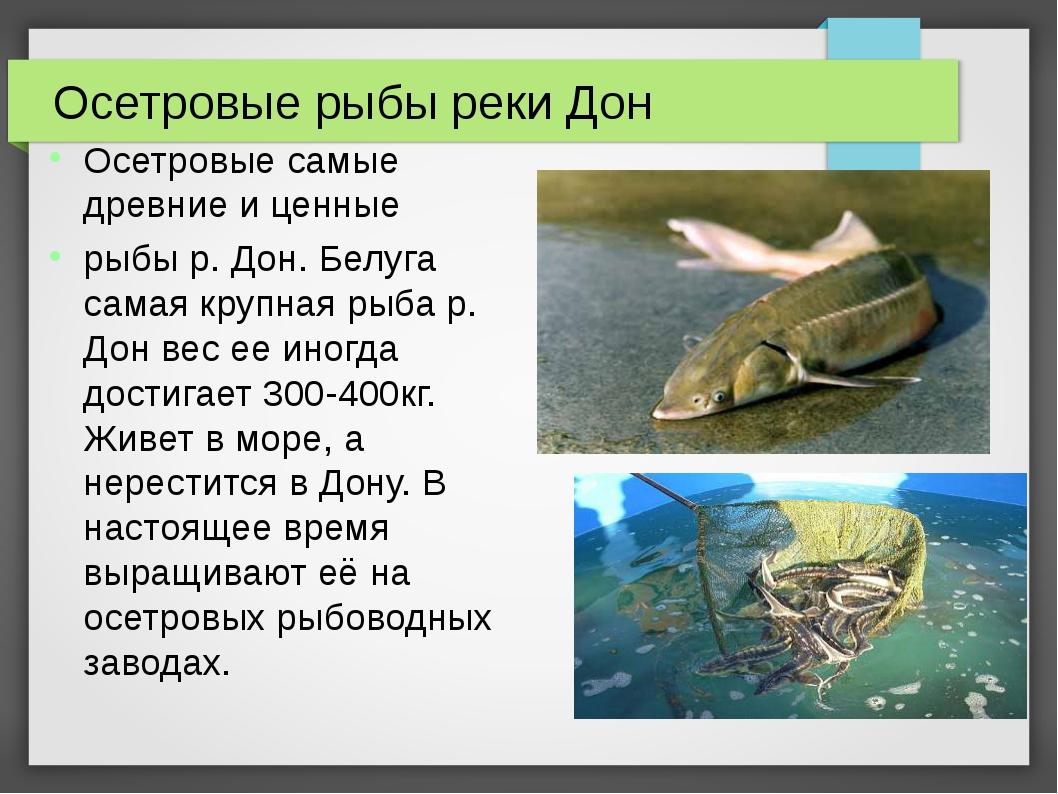 Осетровые рыбы реки Дон Осетровые самые древние и ценные рыбы р. Дон. Белуга...