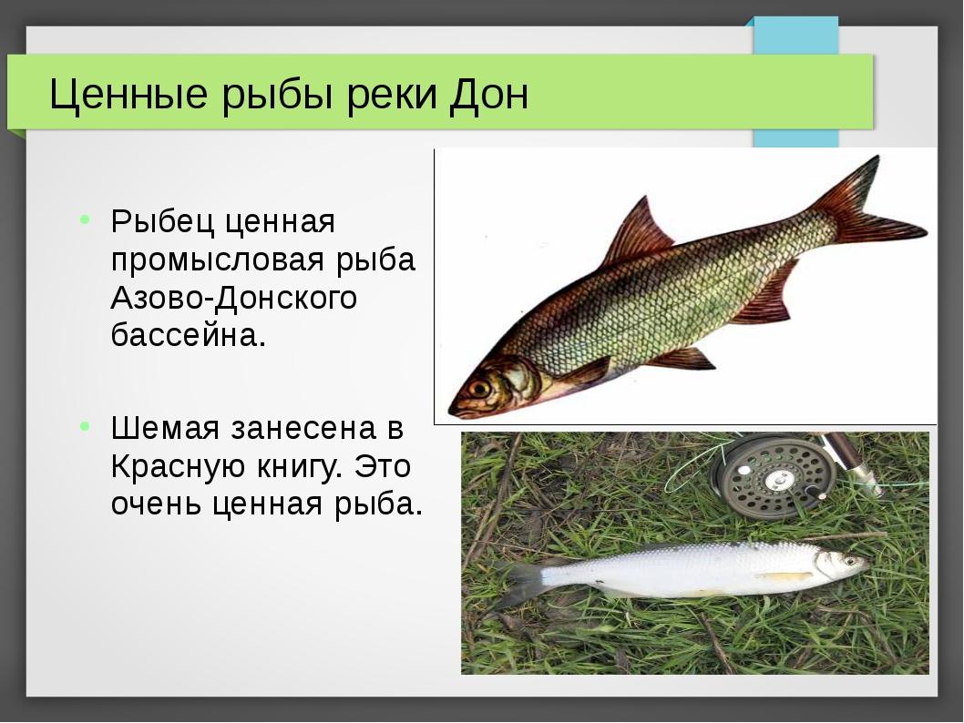Ценные рыбы реки Дон Рыбец ценная промысловая рыба Азово-Донского бассейна. Ш...