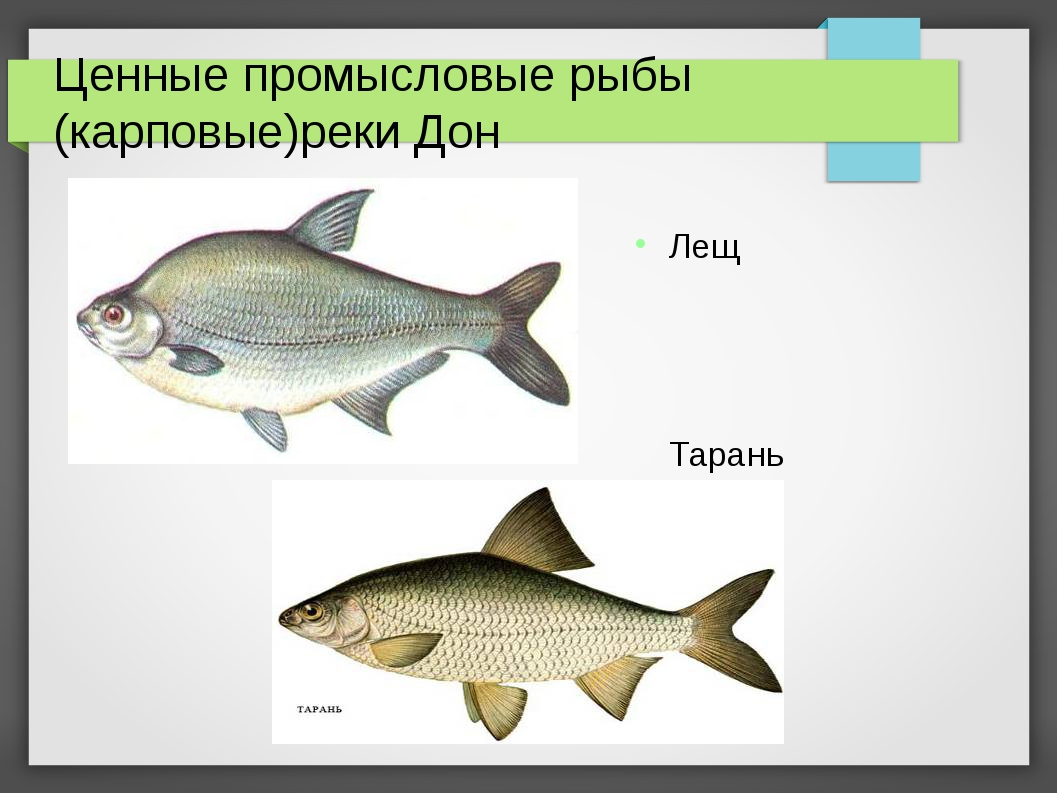 Ценные промысловые рыбы (карповые)реки Дон Лещ Тарань