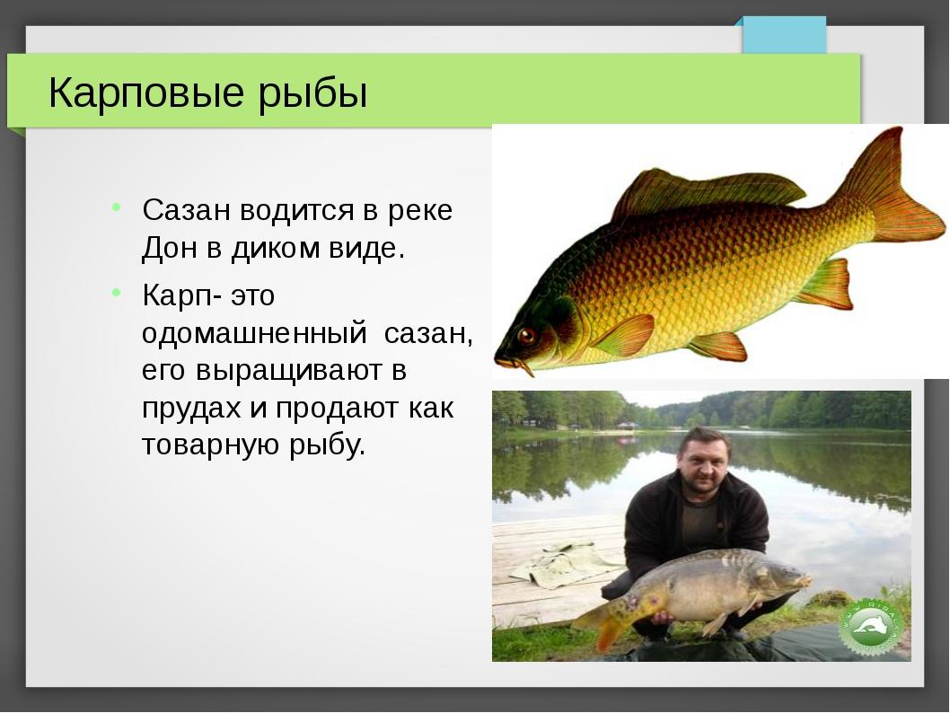 Карповые рыбы Сазан водится в реке Дон в диком виде. Карп- это одомашненный с...