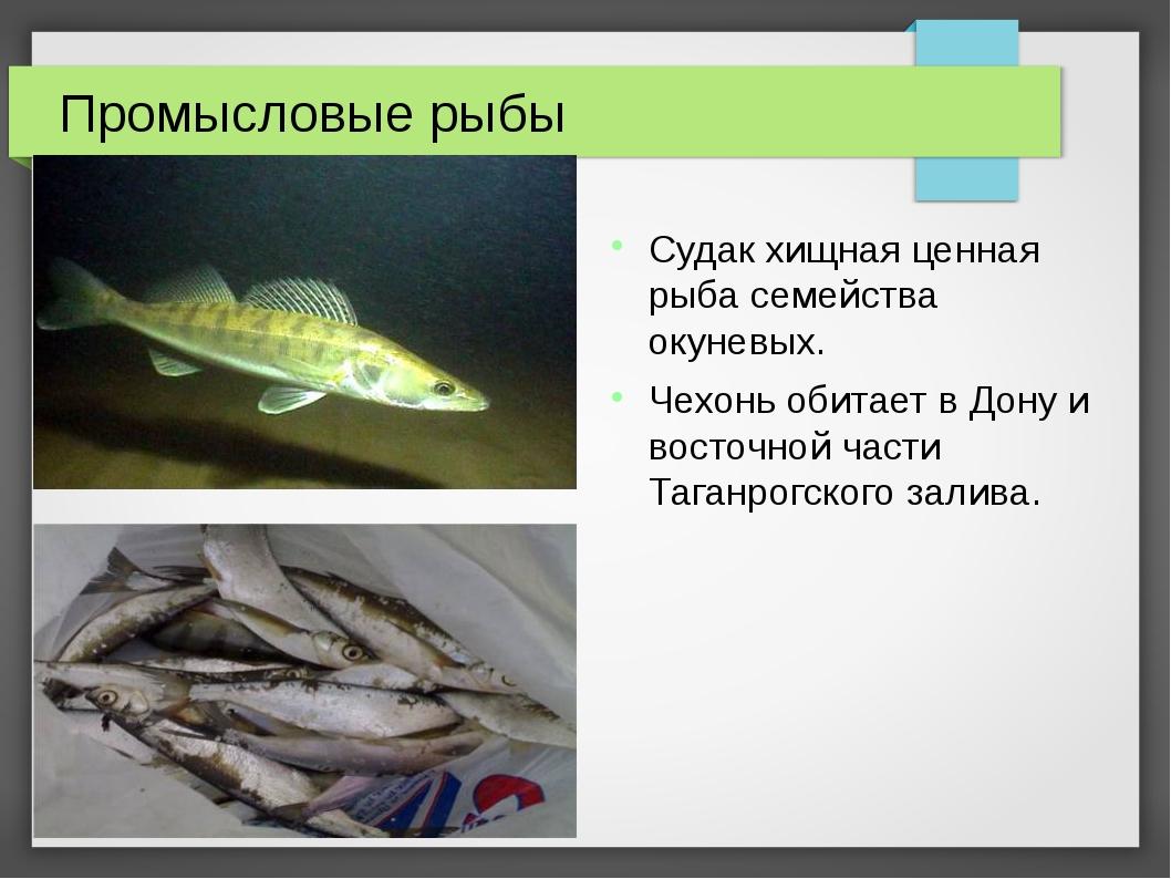 Промысловые рыбы Судак хищная ценная рыба семейства окуневых. Чехонь обитает...