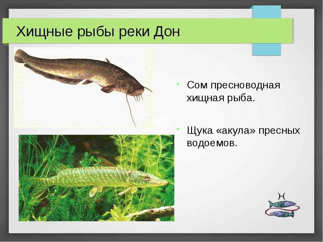 Хищные рыбы реки Дон Сом пресноводная хищная рыба. Щука «акула» пресных водое...