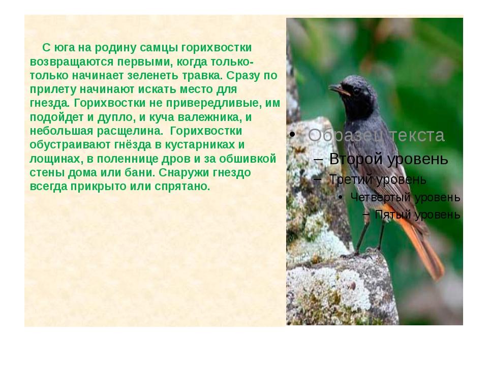 С юга на родину самцы горихвостки возвращаются первыми, когда только-только...