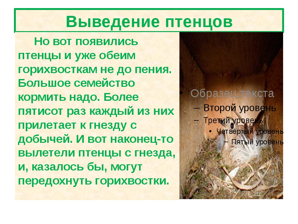 Выведение птенцов Но вот появились птенцы и уже обеим горихвосткам не до пени...
