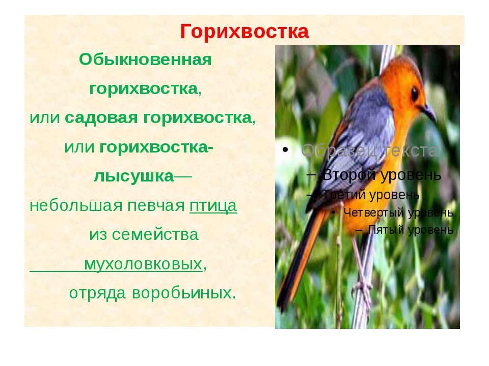 Горихвостка Обыкновенная горихвостка, илисадовая горихвостка, или горихвостк...