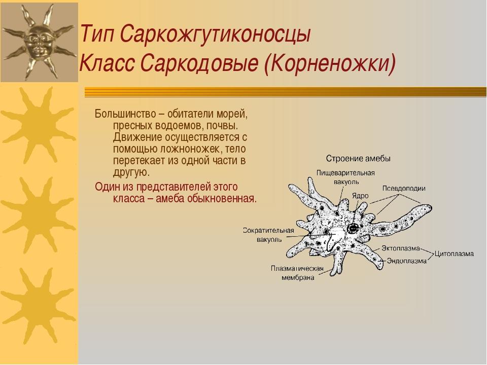 Тип Саркожгутиконосцы Класс Саркодовые (Корненожки) Большинство – обитатели м...