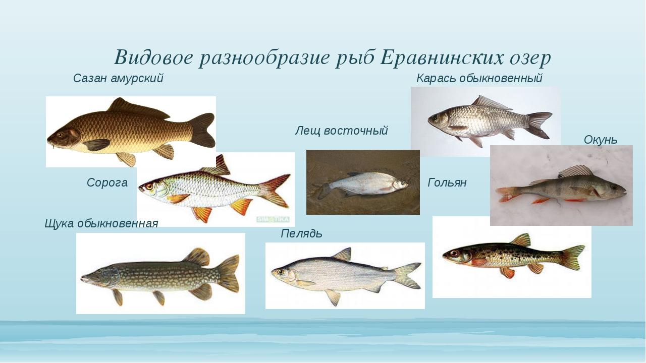 Видовое разнообразие рыб Еравнинских озер Гольян Сорога Карась обыкновенный...