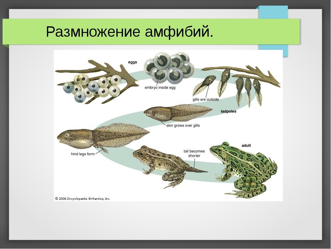 Размножение амфибий.