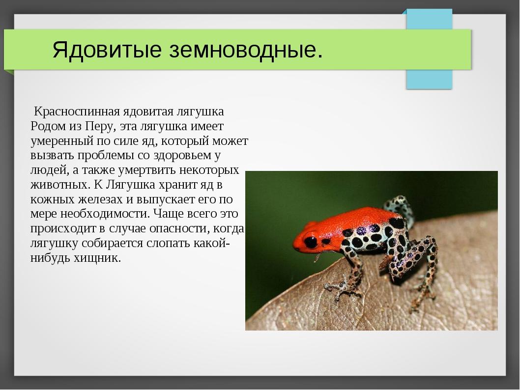Ядовитые земноводные. Красноспинная ядовитая лягушка Родом из Перу, эта лягу...