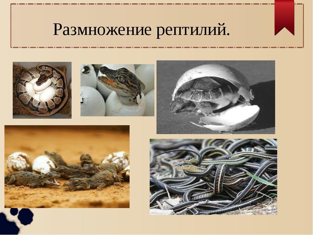 Размножение рептилий.