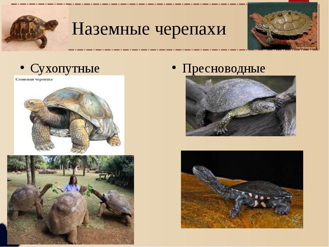 Наземные черепахи Сухопутные Пресноводные