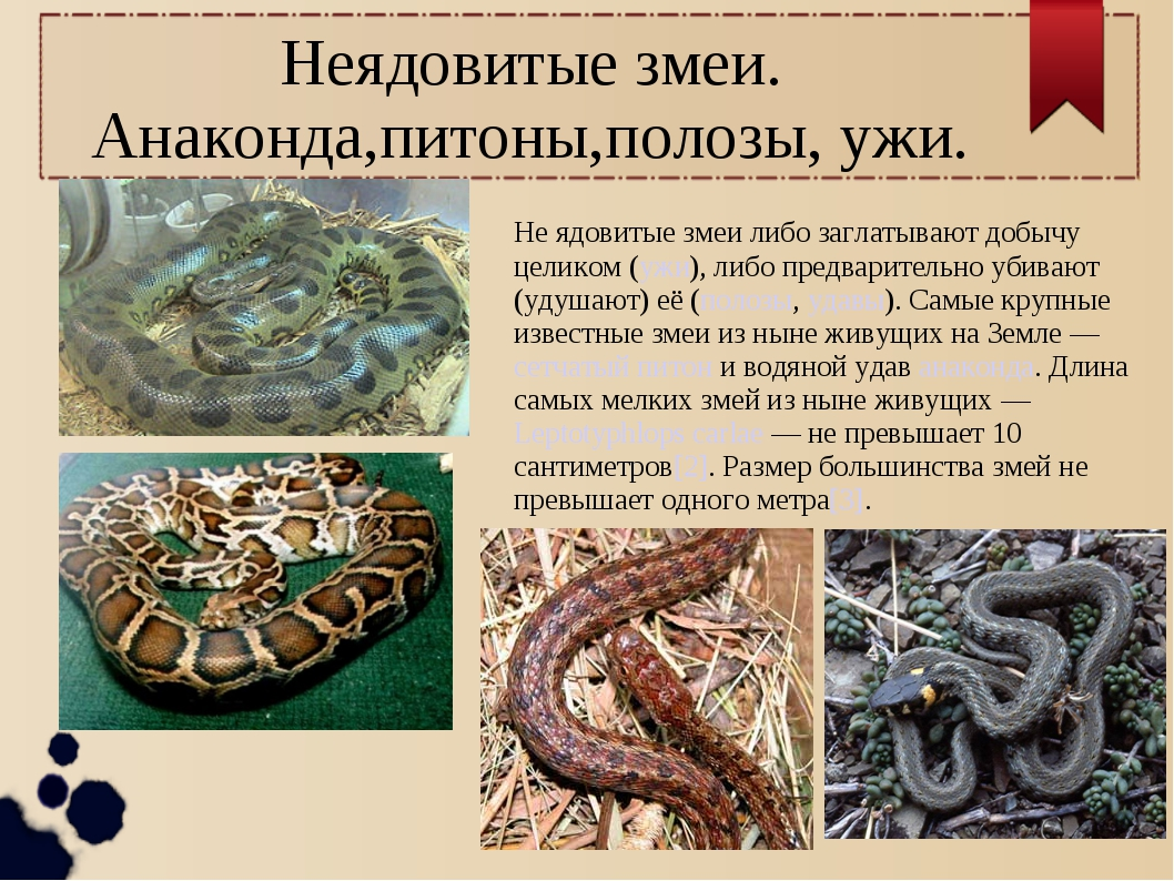 Не ядовитые змеи либо заглатывают добычу целиком (ужи), либо предварительно у...