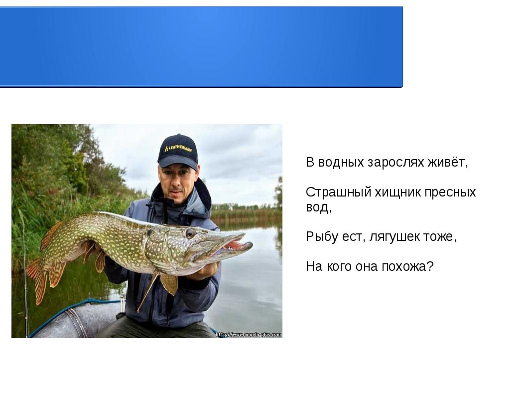 В водных зарослях живёт, Страшный хищник пресных вод, Рыбу ест, лягушек тоже,...