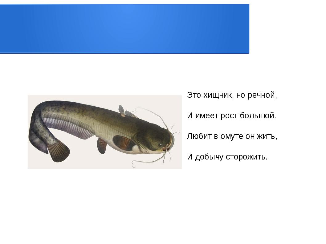 Это хищник, но речной, И имеет рост большой. Любит в омуте он жить, И добычу...