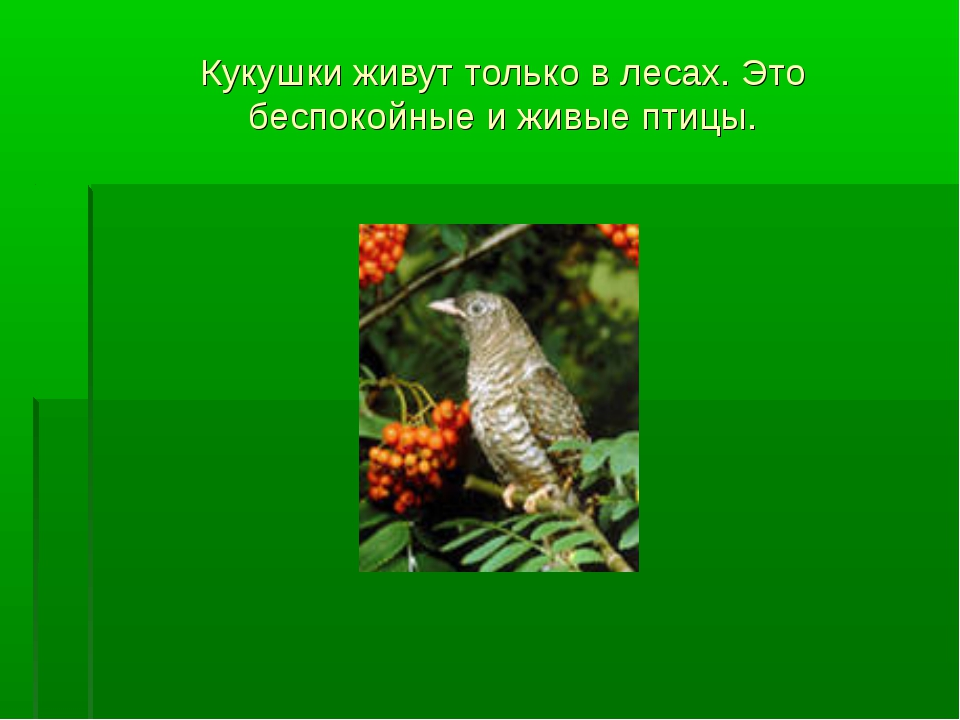 Кукушки живут только в лесах. Это беспокойные и живые птицы.