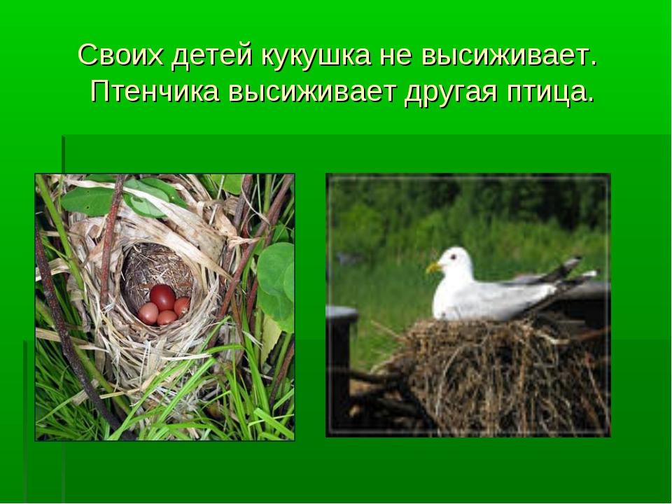 Своих детей кукушка не высиживает. Птенчика высиживает другая птица.