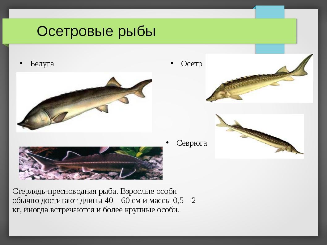 Осетровые рыбы Белуга Осетр Севрюга Стерлядь-пресноводная рыба. Взрослые осо...