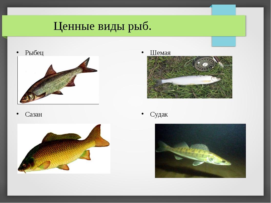 Ценные виды рыб. Рыбец Шемая Судак Сазан