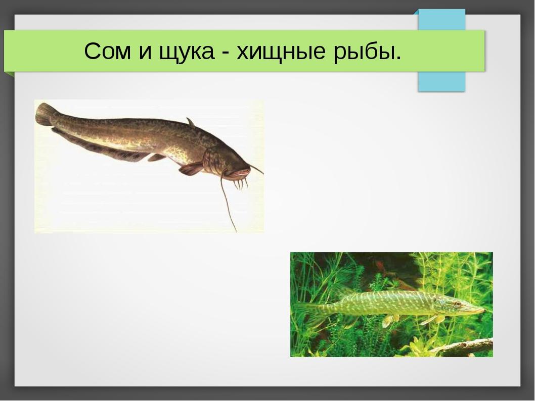 Сом и щука - хищные рыбы.