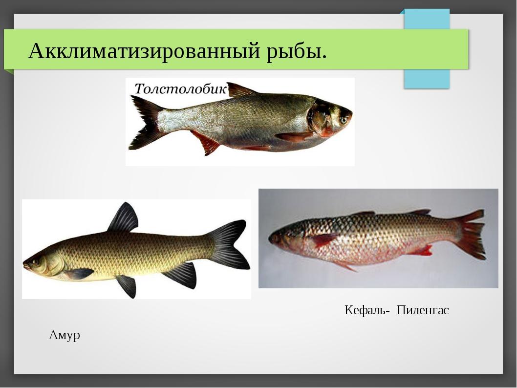 Акклиматизированный рыбы. Кефаль- Пиленгас Амур