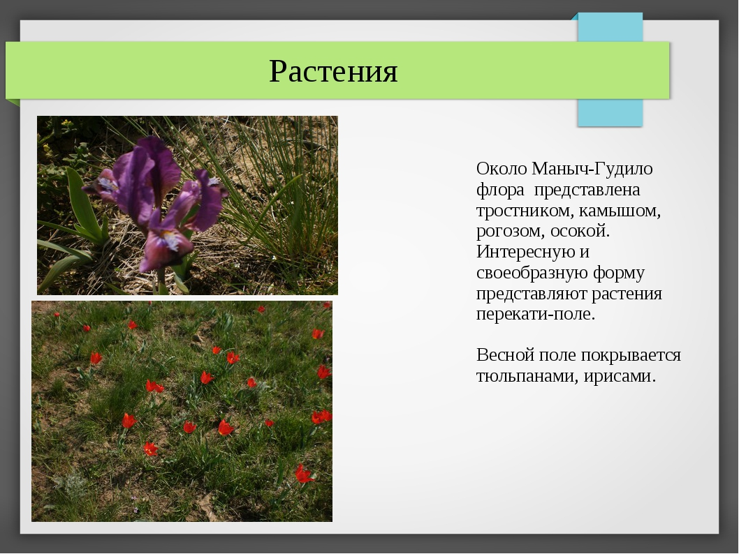 Около Маныч-Гудило флора представлена тростником, камышом, рогозом, осокой....